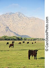 California, United States - cattle ranch with Scodie Mountains in the background (part of Sierra Nevada). Kern County.