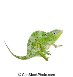 Usambara giant three-horned chameleon, on white - Usambara...