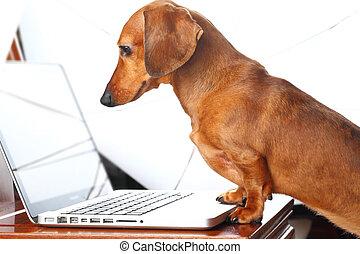 usando computer portatile, cane