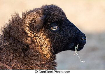 Profile of an Ushant island small sheep species eating a blade of grass, Brittany, France
