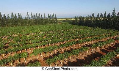 usines, café, île, hawaï, pacifique, oahu, plantaion, crête