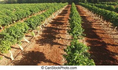 usines, café, industriel, ferme, nourriture, croissance, agriculture