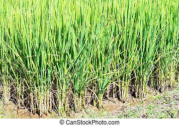 usines, champ, gros plan, riz