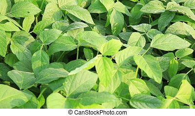 usines, champ, haricot, croissance, soja, vert