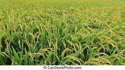 usines, champ, riz