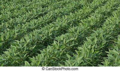 usines, champ, vert, graine soja, cultivé