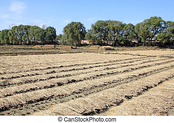 usines, champs, riz