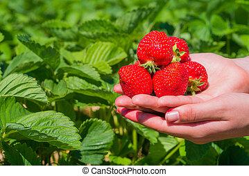 usines, délicieux, tenu, sur, poignée, fraise, fraises, choisi, frais
