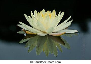usines, lotus fleur