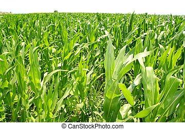usines, maïs, plantation, champ, vert, agriculture