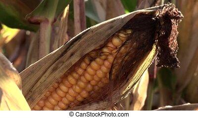 usines, maïs