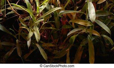 usines, sundew, flytrap, vénus, sarratseniya, carnivore