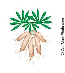 usines, tapioca, fond, frais, blanc, manioc