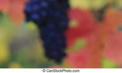 usines, usa, coloré, vigne, feuilles, foyer, dundee, bokeh, vidéo, raisins, automne, closeup, 1080p, ou, tas