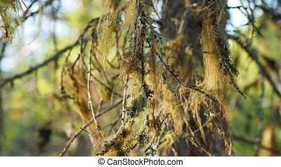 Usnea barbata, commonly called Old man's beard or beard...