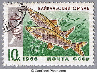Baikal omul - USSR - CIRCA 1966: A stamp printed in USSR...