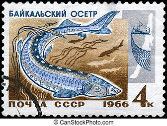 """USSR - CIRCA 1966: A Stamp printed in USSR shows image of a Sturgeon from the series """"Fish resources of Lake Baikal"""", circa 1966"""