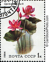 Indian Lotus, Sacred Lotus, Bean of India - Nelumbo nucifera