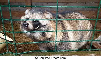 Ussuri Raccoon dog in captivity behind bars. Raccoon dog, or...