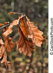 usušený, filiálka, dub, podzim zapomenout