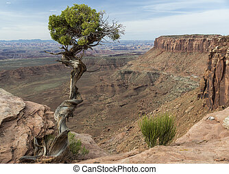 Utah Juniper (Juniperus osteosperma) tree on the edge of a deep canyon in Canyonlands National Park near Moab Utah.
