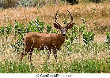 Mule Deer - Utah Mule Deer Capitol Reef National Park Torrey...