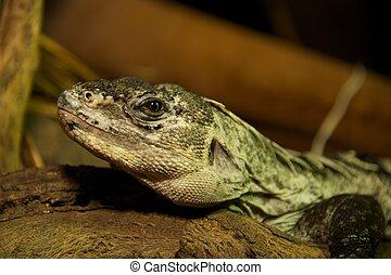 Utila spiny-tailed iguana in close-up on log