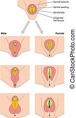 utveckling, genital