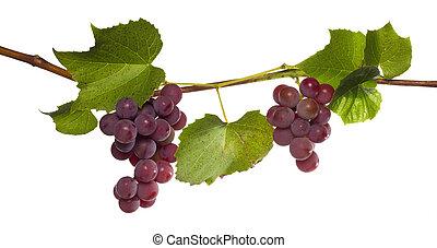 uva branca, isolado, ramo