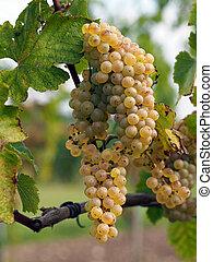 uva, chenin, savenniere, maduro, francia