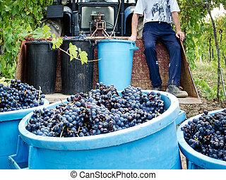 uva, colheita