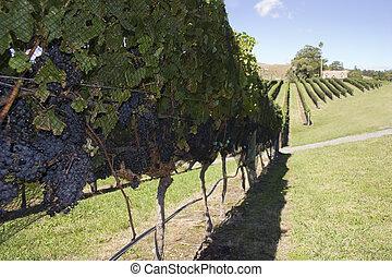 uva, cosecha
