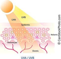 uva, couche, uvb, vector., peau