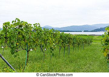 uva, granja, jardín