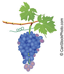 uva, grupo