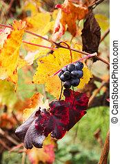 uva, primer plano, en, otoño, con, rojo y amarillo, hojas