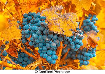 uva, ramo, muy, enfoque poco profundo