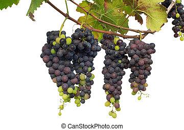 uva roja, con, hojas