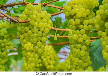 uva verde, joven