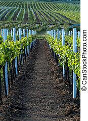 uvas de vino, filas