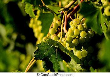 uvas, en, el, viña, lagar, vino, mañana,