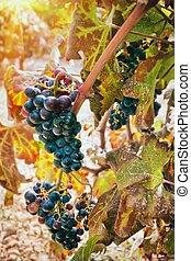 uvas, en, viña