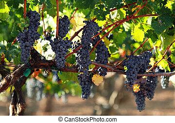 uvas, ligado, um, videira