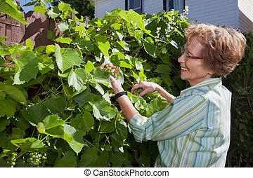 uvas, mulher sênior, jardim, inspeccionando