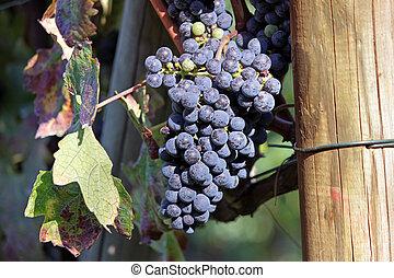 uvas negras, ramo
