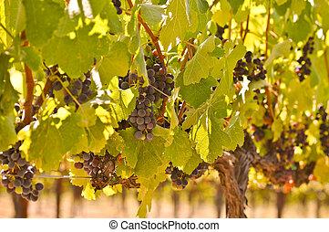 uvas rojas, en, el, vid