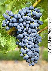 uvas sauvignon cabernet