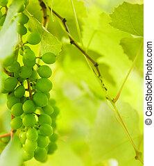 uvas verdes, primer plano, tiro