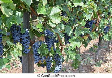 uvas vermelhas, em, verão