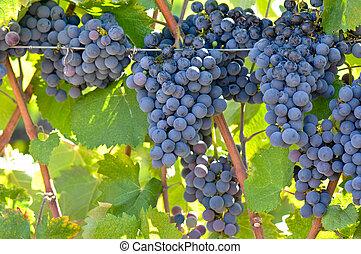 uvas vermelhas vinho, ligado, a, videira